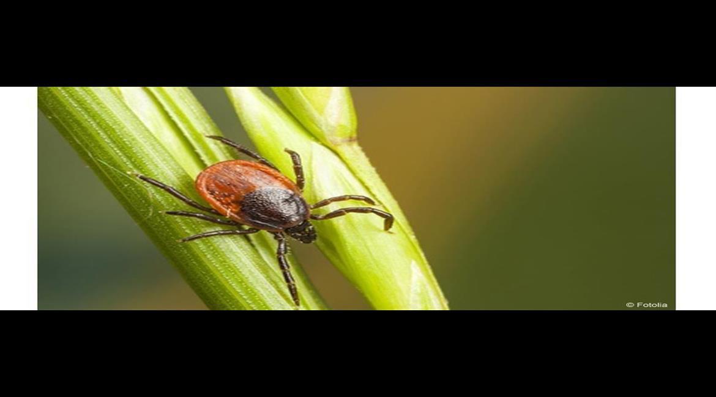 SANTÉ : Quand la médecine tique sur la maladie de Lyme